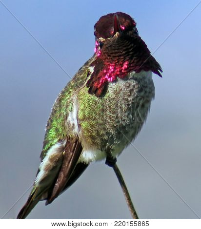 Ruby throat hummingbird perched on branch with shiny red violet feathers.