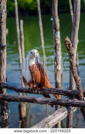 Hawk On The Wooden Pier Looking For Food