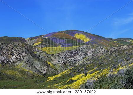 Wildflowers covering California desert hills at Carrizo Plains national monument with yellow, purple, orange, and green blooms.