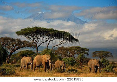 elephant herd in front of Mt.Kilimanjaro