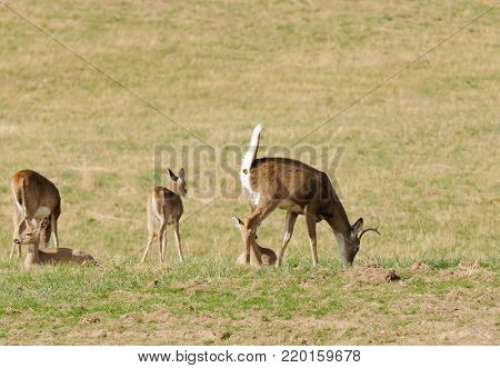 male Whitetail deer (odocoilus virginianus) eating as it is excrementing