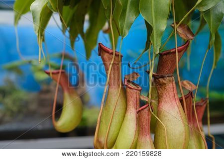 Several nepenthes Plant. Interesting flytrap plant close up