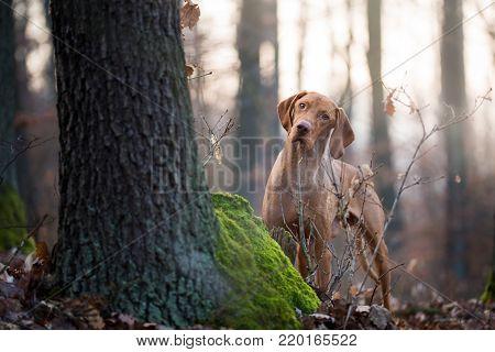 Hungarian hound vizsla dog in forrest in winter