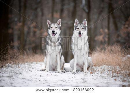 wolves in forrest in winter in forrest