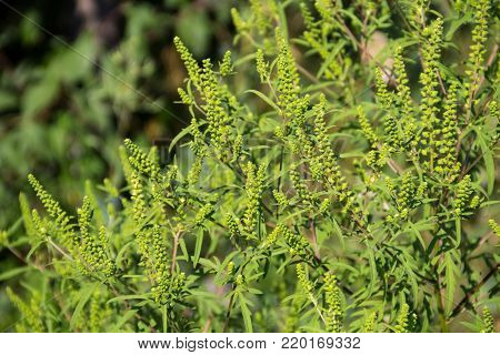 Ragweed Plants