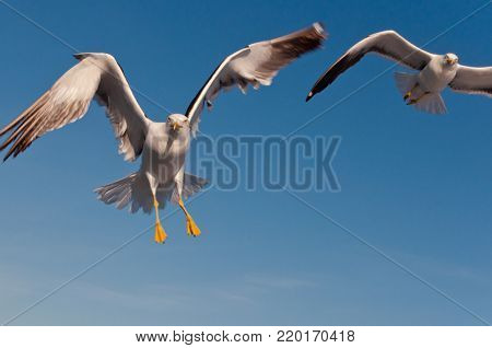 Two aggressive sea gulls flapping their wings