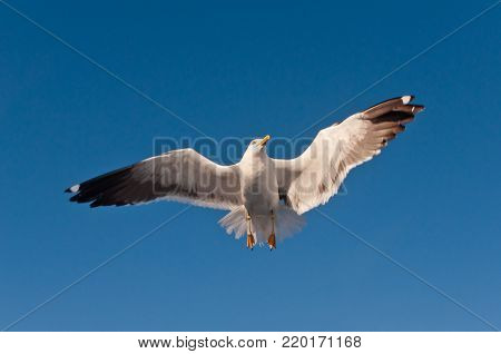 White sea gull hovering in blue sky