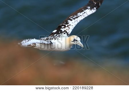 Morus bassanus. Helgoland. Photographed in the North Sea. The wild nature of the North Sea. Bird on the Rock. North Sea. Free nature. Beautiful photo of bird life.