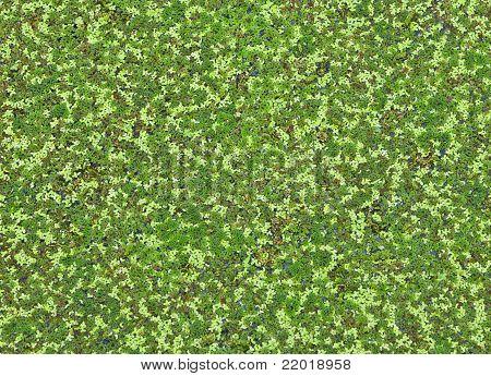 Lemna Perpusilla   Torrey, Kind Of Water Plant