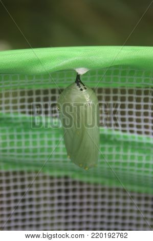 A Monarch Butterfly Cocoon Safe in a Butterfly Habitat