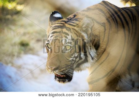 A Watchful Tiger Slinks Through the Jungle's Dappled Sunlight