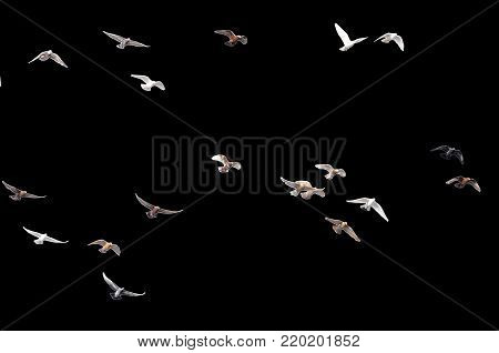 flock of pigeons on a black background .