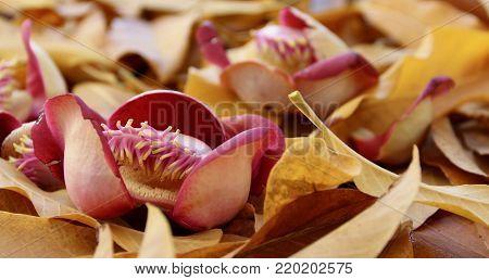Apricot flower on dry autumn leaf soil