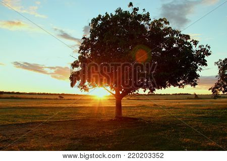 Lonely tree in full sunset in the Brazilian northeast.