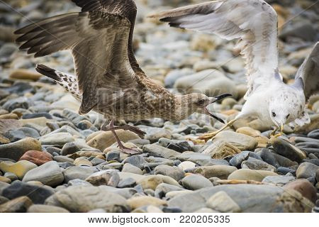 Seagulls on the shore among the stones quarrel over food