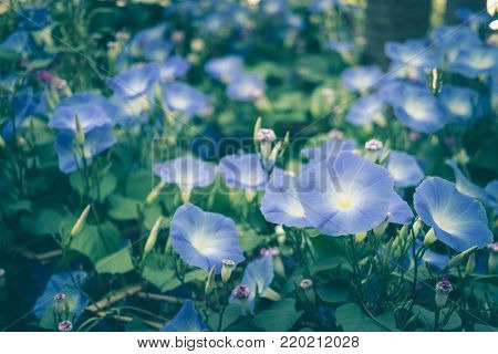 Morning Glory. Blooming Flower In Garden. Blue Flora