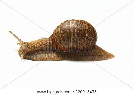 French delicacy, common names the Roman snail, Burgundy snail, edible snail or escargot