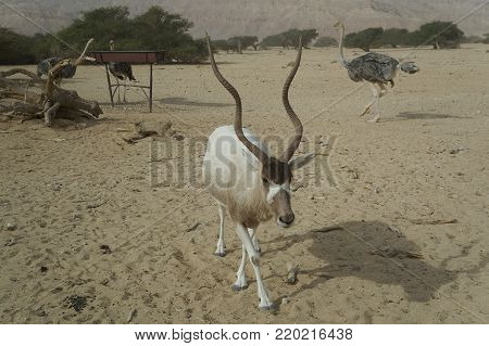 Antelope Addax (Addax nasomaculatus) were introduced from Sahara desert and well adopted in nature reserve near Eilat, Israel. Sand storm