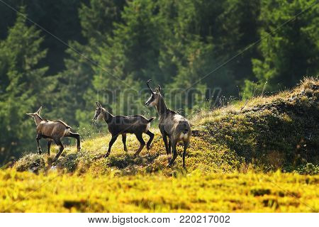 chamois herd in the mountains ( Rupicapta rupicapra )