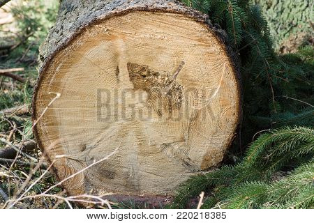 Stumps from felled trees in a pine forest