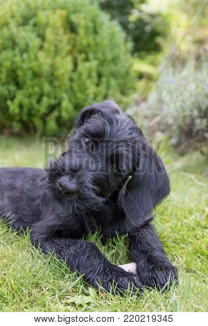 Adorable head tilting puppy of giant black schnauzer dog lying on the lawn. Vertically.