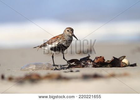 Calidris alba. The wild nature of the North Sea. Bird on beach by the sea. The beautiful nature of Europe. A beautiful picture of nature. Sea. Water.