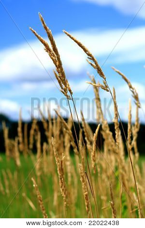 Reed Canary Grass With Blue Sky