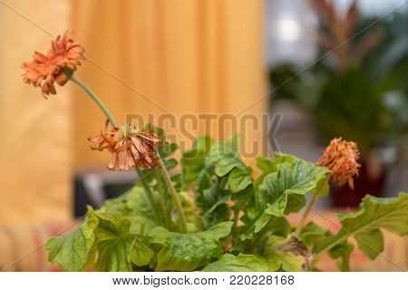 orange gerbera flowers - closeup wilting room flower