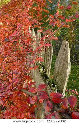 The fence made of wood covered with moss and bushes. The red leaves of the bushes cover the fence.The boundary that strives towards the sky. In the background is grass and landscaped orchard.