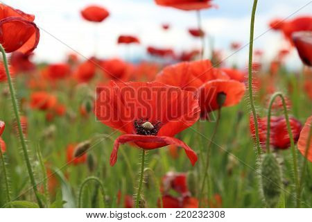 Papaver rhoeas (Common Poppy) in the field