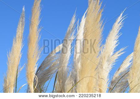 Seeds of pampas plume seeds, with blue sky background