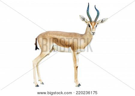 isolated Antelope on white background, dorcas horns