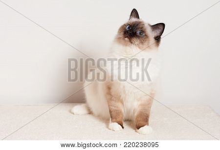 A seal point Birman cat, 9 month old cat , male with blue eyes is sitting on carpet