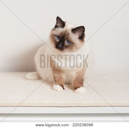 A seal point Birman cat, 9 month old kitten, male with blue eyes sitting on the chest of drawers