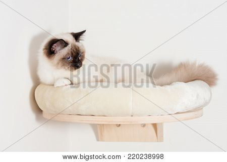 A seal point Birman cat, 9 month old cat , male with blue eyes is lying on cat shelf