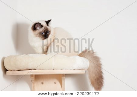 A seal point Birman cat, 9 month old cat , male with blue eyes is sitting on cat shelf