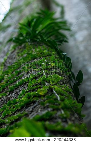 A green tree climbing vine like plant growing up a large tree trunk in a South east asian tropical jungle.