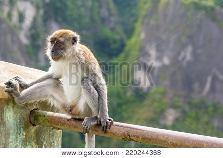 A urban male Macaque monkey seated on a hand rail in front of a valley drop exposing him self.