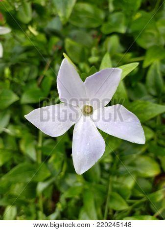 White Intermediate Periwinkle Flower Amongst Green Leaves