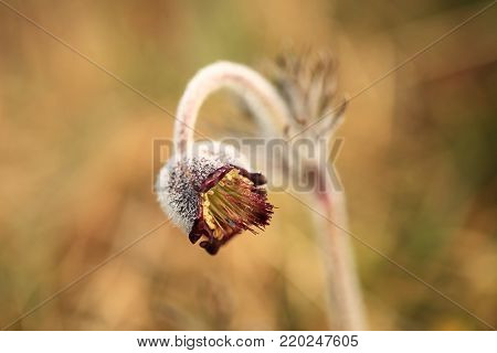 Pulsatilla pratensis. It grows in sunny and bright places. For example, on rocky and grassy slopes. In meadows, steppes, or in light forests. It is a thermophilic species.