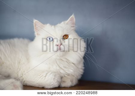 Close up of Persian cats in a Cat Cafe coffee shop,Portrait of beautiful 2 color eyes cats,White cat