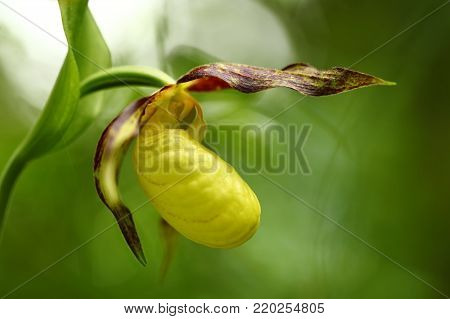 Cypripedium calceolus. This orchid is found in the Czech Republic at approximately 100 localities, in Bohemia and Moravia. A very rare plant. Wild nature. Free nature. Spring.
