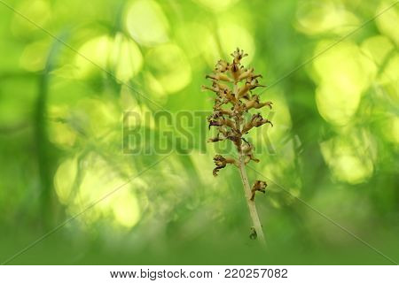 Neottia nidus-avis. It is widespread in Europe, Asia Minor, Caucasus, Siberia and North Africa. The Orchid favors deciduous forests. Free nature. A rare orchid. Wild nature. Czech nature. Spring nature.