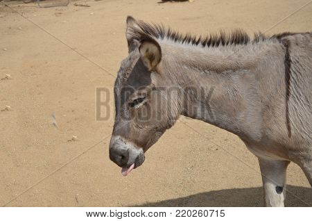 Beautiful donkey with his tongue sticking out.