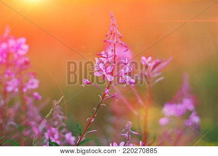 Wonderful summer look. Flowers Ivan-tea fireweed in the sunset on a beautiful blurred background. Close-up, selective focus.
