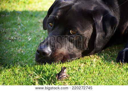 A black labrador with a social frog