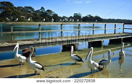Pelicans waiting for food at a wharf