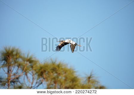 Close To A Full Moon As A Wood Stork Mycteria Americana Flies