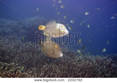 Couple of tropical fishes Half-moon Triggerfish (Sufflamen chrysopterusmappa). Maldives. Indian ocean. Addu atoll. poster
