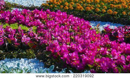 Bright flowers of tuberous begonias. flora. begonias